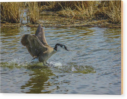 Canada Goose Takes Flight, Frank Lake, Alberta, Canada Wood Print