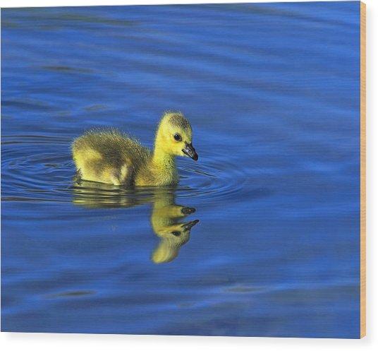 Canada Gosling Goes For A Swim Wood Print