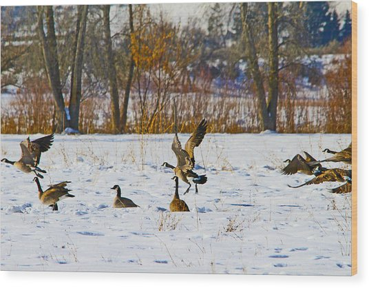 Canadian Geese At Sunrise IIi Wood Print