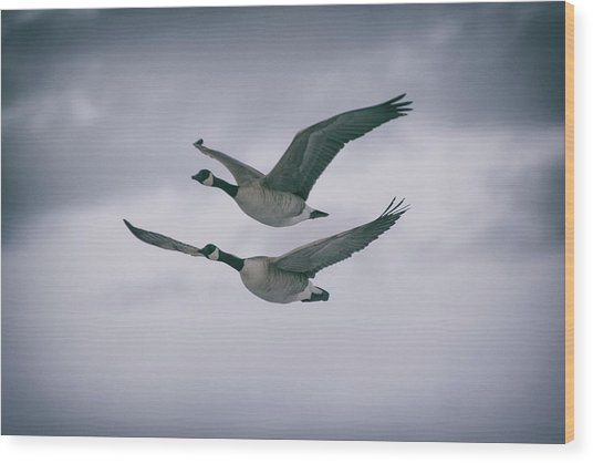 Canadian Geese In Flight Wood Print