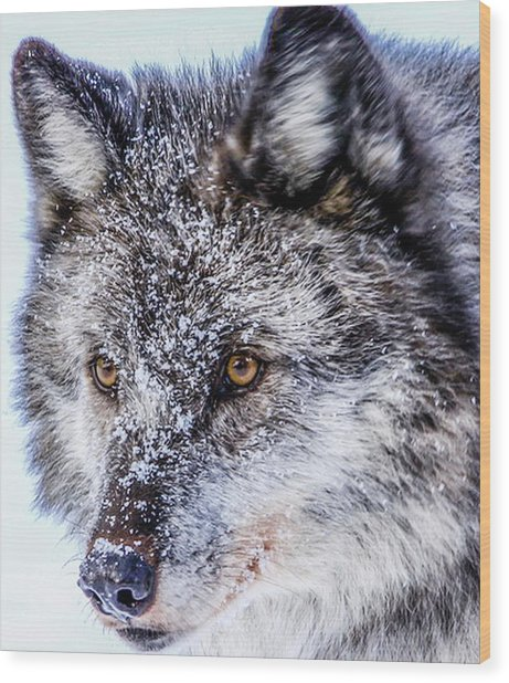 Canadian Grey Wolf In Portrait, British Columbia, Canada Wood Print