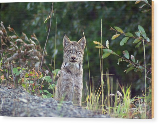 Canadian Lynx Wood Print