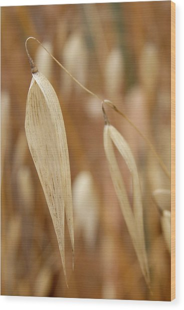 Canarian Oat - Closeup Of Dry Avena Canariensis Wood Print