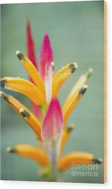 Wood Print featuring the photograph Candy Colours - Heliconia Tropical Flower by Sharon Mau