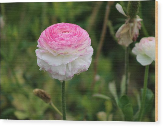 Candy Stripe Ranunculus Wood Print