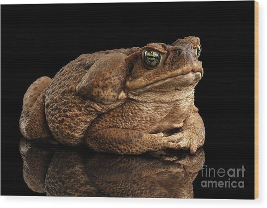 Cane Toad - Bufo Marinus, Giant Neotropical Or Marine Toad Isolated On Black Background Wood Print