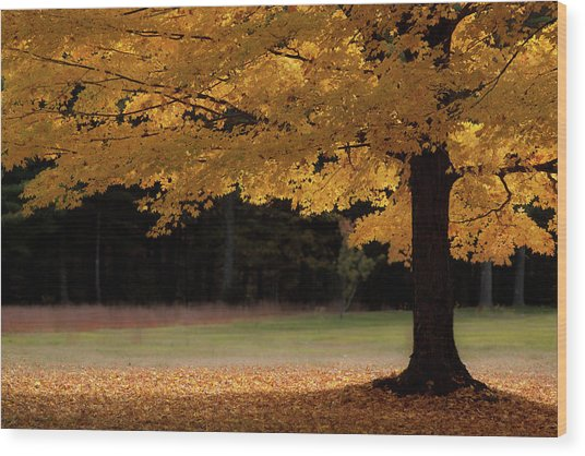 Canopy Of Autumn Gold Wood Print