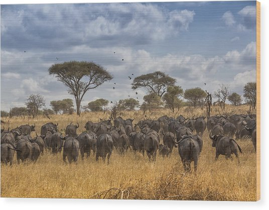 Cape Buffalo Herd Wood Print