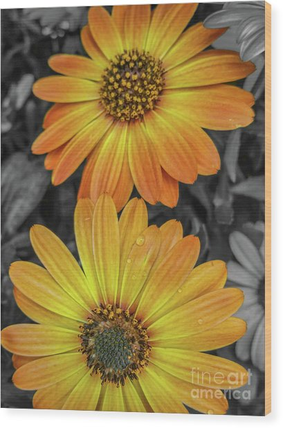 Cape Daisy's - Orange Wood Print