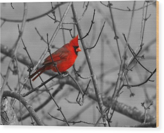 Cardinal Colorized Wood Print