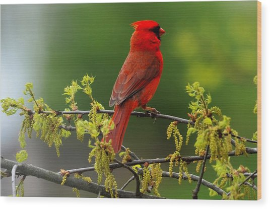 Cardinal In Early Spring Wood Print