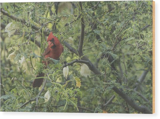 Cardinal In Mesquite Wood Print