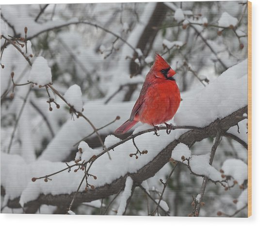 Cardinal In The Snow 1 Wood Print