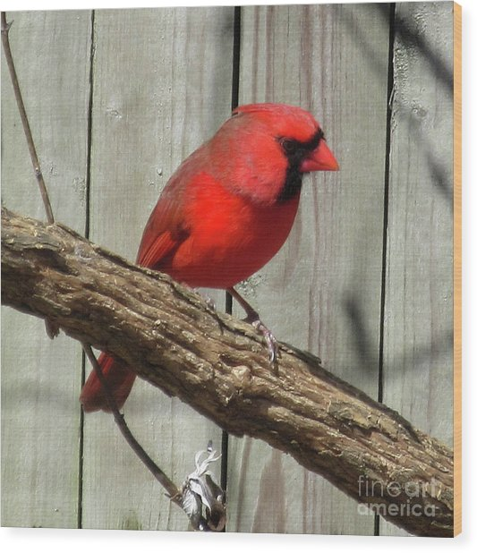 Cardinal Waiting For Spring Wood Print