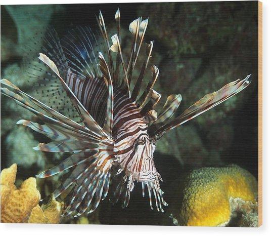 Caribbean Lion Fish Wood Print