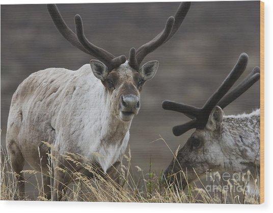 Caribou Wood Print by Tim Grams