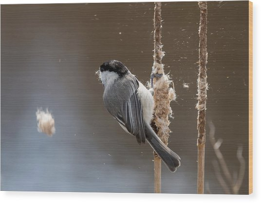 Carolina Chickadee Feeding On Cattail Wood Print