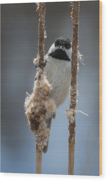 Carolina Chickadee On Cattails Wood Print