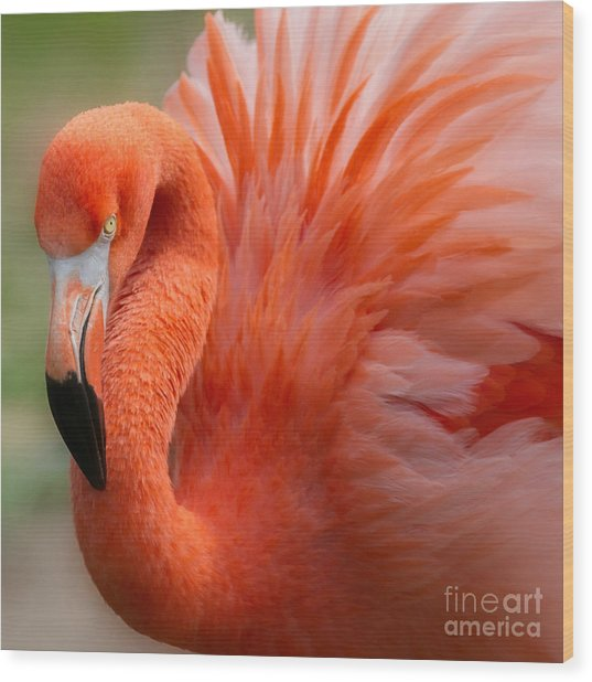 Caribbean Flamingo Wood Print