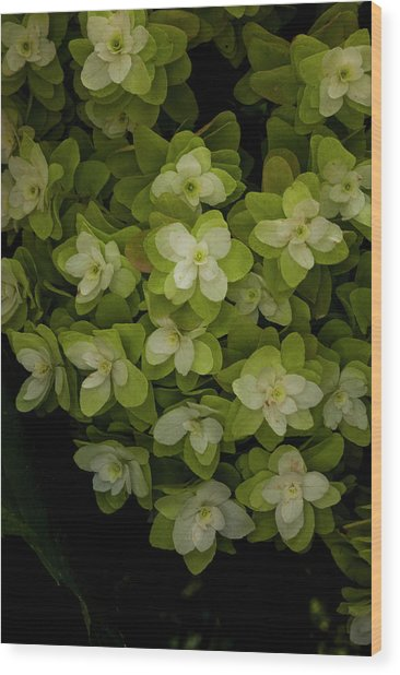 Cascading White Blossoms 2 Wood Print by Greg  Plachta