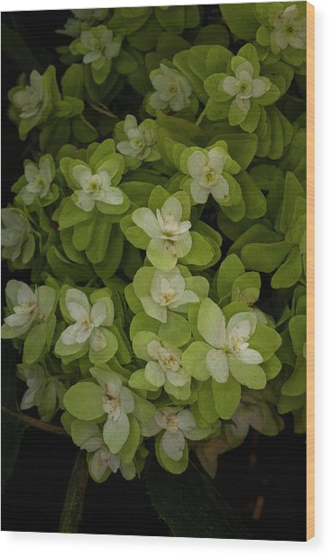 Cascading White Blossoms 3 Wood Print by Greg  Plachta