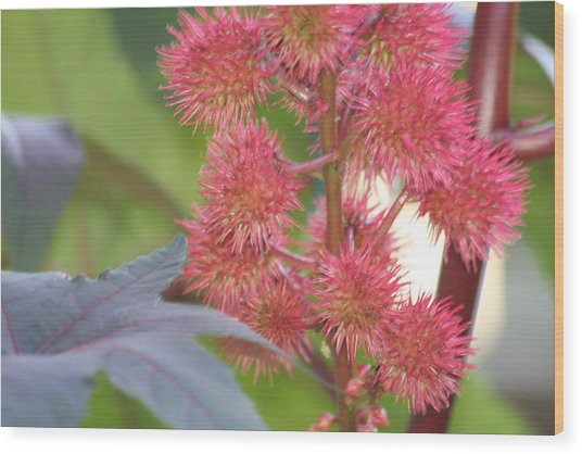 Castor Bean Flowers Wood Print