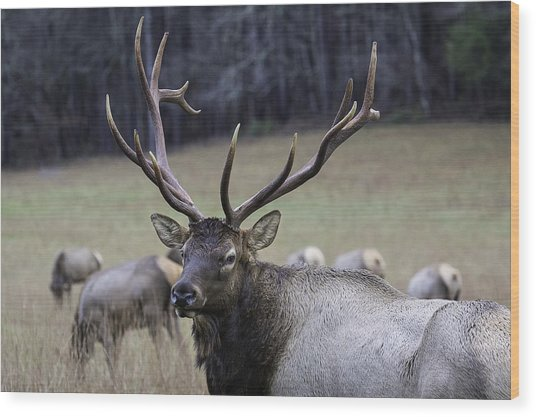 Cataloochee Elk Wood Print
