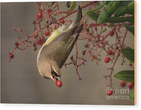 Cedar Waxwing With Toyon Berry Wood Print
