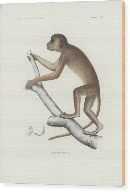 Central Yellow Baboon, Papio C. Cynocephalus Wood Print