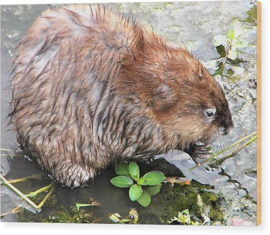 Charley The Muskrat Wood Print