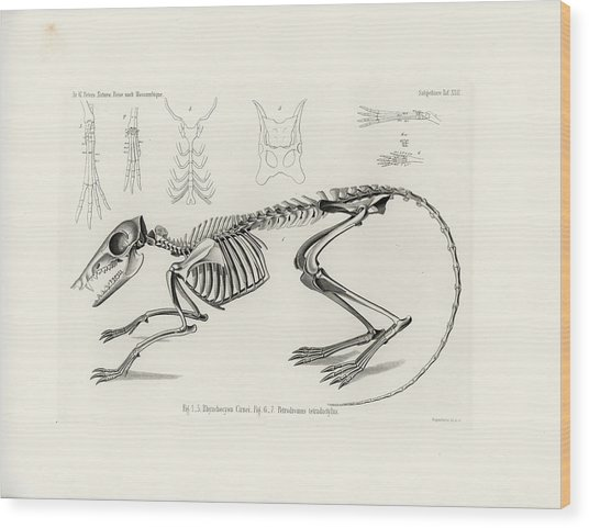 Checkered Elephant Shrew Skeleton Wood Print