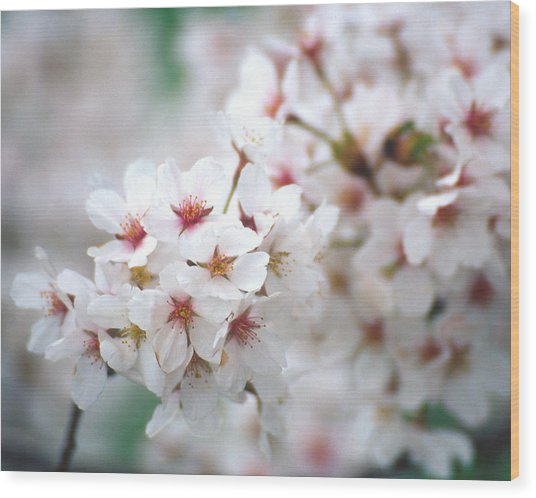 Cherry Blossom Close-up No. 6 Wood Print by Karen Garvin