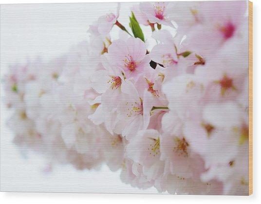 Cherry Blossom Focus Wood Print