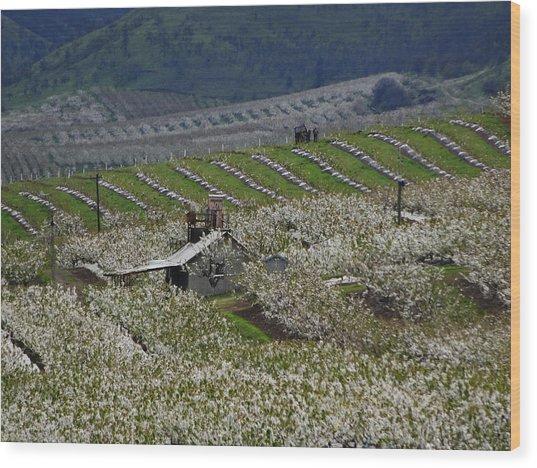 Cherry Blossom Spring Wood Print