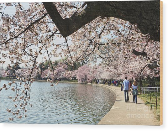 Cherry Blossom Stroll Around The Tidal Basin Wood Print