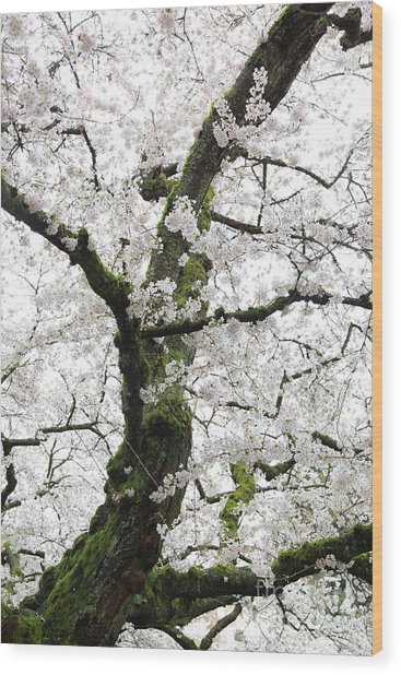 Cherry Blossoms 119 Wood Print