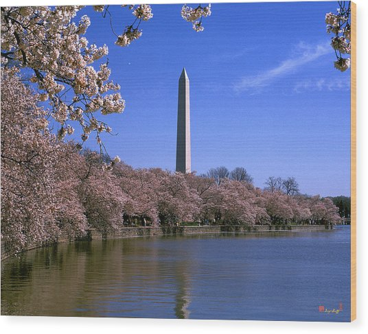 Cherry Blossoms On The Tidal Basin 15j Wood Print
