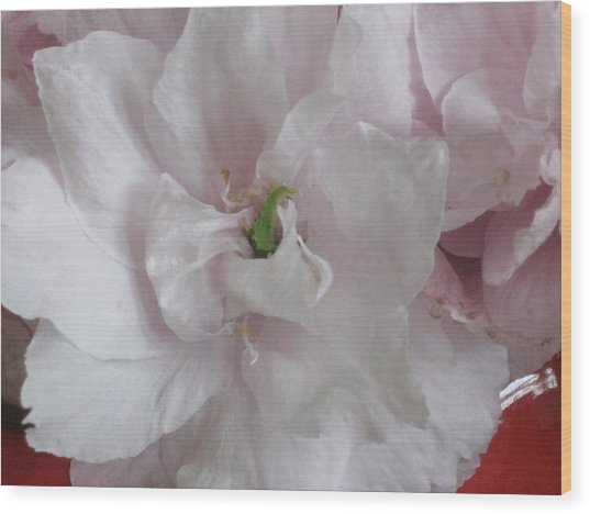 Wood Print featuring the photograph Cherry Blossum Close Up by AJ Brown