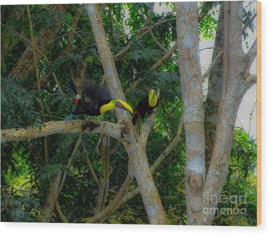 Chestnut-mandibled Toucans Wood Print
