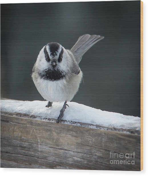 Chic At Big Springs Wildlife Art By Kaylyn Franks Wood Print