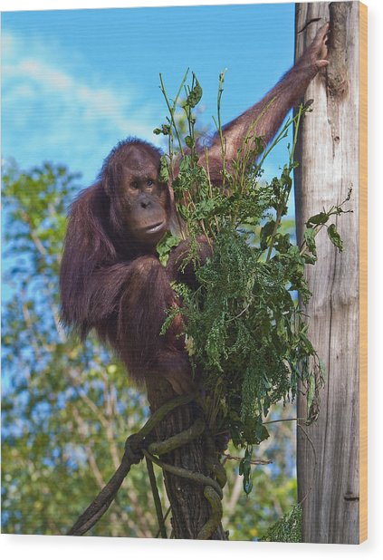 Chimpanzee In A Tree Wood Print