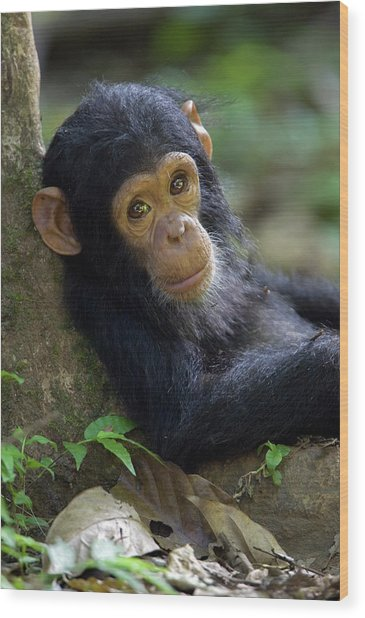 Chimpanzee Pan Troglodytes Baby Leaning Wood Print