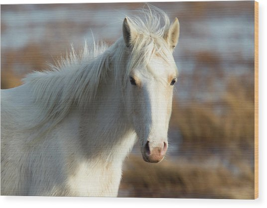 Chincoteague White Pony Wood Print