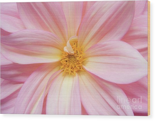 Chinese Chrysanthemum Flower Wood Print by Julia Hiebaum