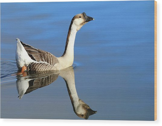 Chinese Goose In Blue Waters Wood Print