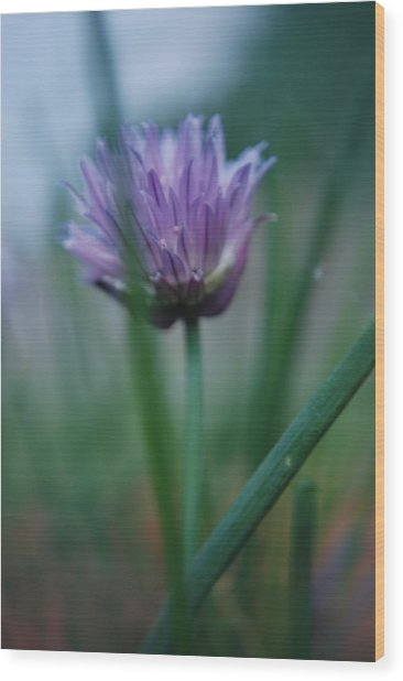 Chive Flower 2 Wood Print by Lisa Gabrius