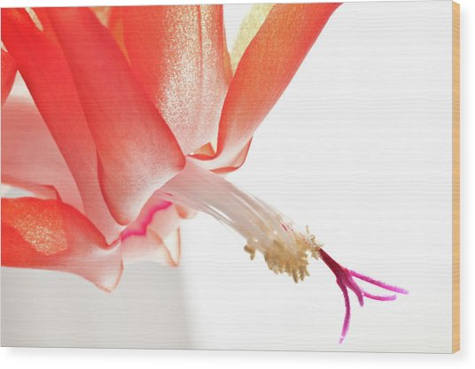 Christmas Cactus Flower Wood Print