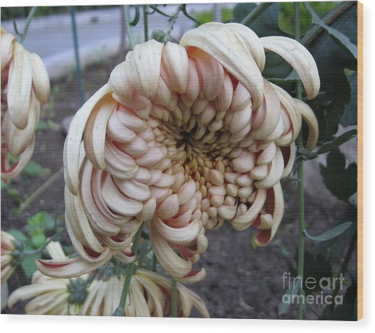 Chrysanthemum 14 Wood Print