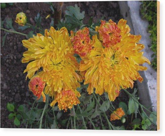 Chrysanthemum 6 Wood Print