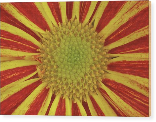 Chrysanthemum Close-up Wood Print